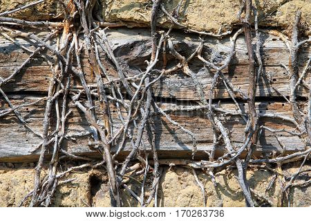 Dry stems of climbing plant on the wall of an abandoned house