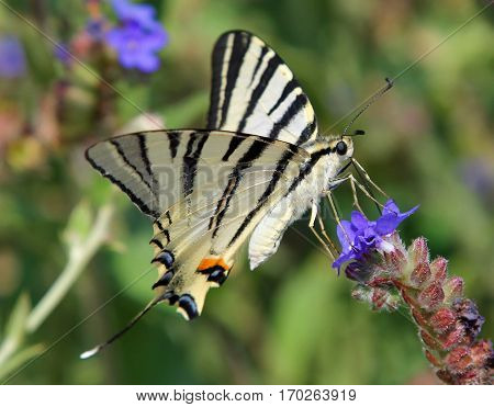 Scarce Swallowtail butterfly (Iphiclides podalirius) on a flower