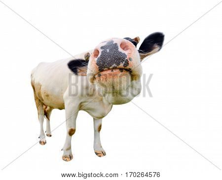Funny cute  black and white cow isolated on white full length. Farm animals.Almost white cow with big snout, standing full-length in front of white background. Cow face close up.