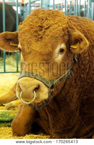 Limousin bull at an agricultural show v