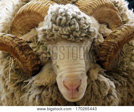 Portrait of white ram (Groznenskaya breed) v