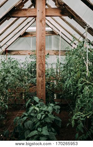 Several Rows Of Tomatoes Stalks In The Greenhouse And Red And Green Tomato Fruits On The Stalks