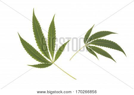 leaves of Dutch Cannabis sativa weed plant isolated on white background