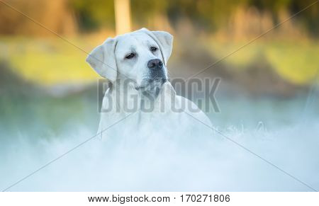young cute labrador retriever dog puppy lies on a field in snow with sun