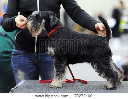 Miniature Schnauzer at dog show in Moscow.