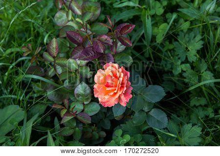 Pink Orange Rose In Dark Green Foliage