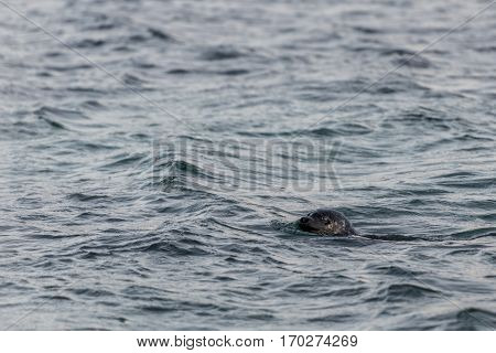 a nice sea lion in a Fjord in Norway