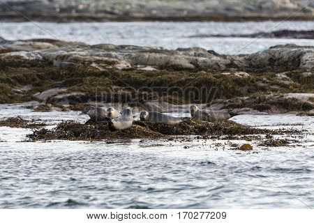 some nice Sea lions in north Norway