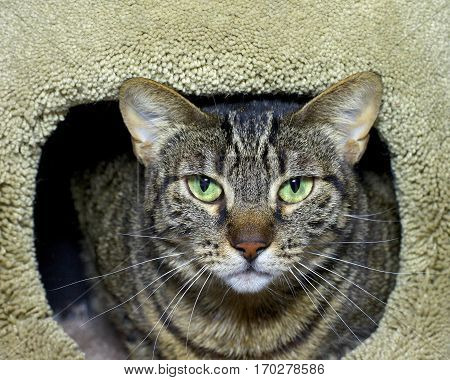 Brown and black striped tabby cat peering begrudgingly out of a tan carpet post looking directly at viewer