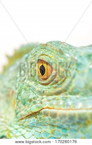 one green iguana lizard .reptile muzzle closeup