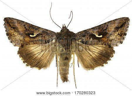 The Silver Y on white Background - Autographa gamma (Linnaeus 1758)