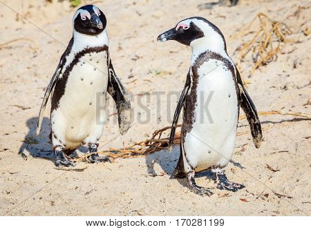 African Penguin family at Boulder Beach in Simon's Town, South Africa