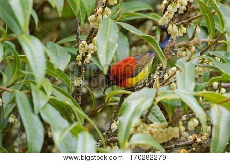 Mrs Gould's Sunbird in orange yellow with metallic tail feeding on flower nectar in Chiang Mai, Thailand