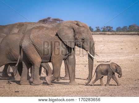 Elephant's family in Amboseli national park Kenya