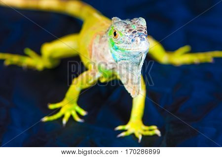 one green iguana lizard .reptile sit on black background