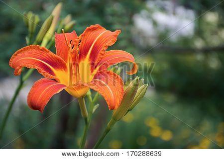 Fire orange Flower Hemerocallis fulva - TawnyDaylily TigerDaylily FulvousDaylily DitchLily