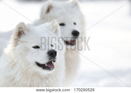 Cute samoyed dogs outdoors on winter day