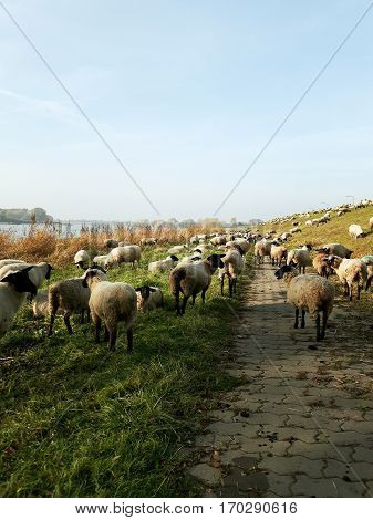 Sheep grazing near a dyke at the elbes on a spring day.