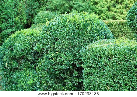 Clipped Buxus Sempervirens