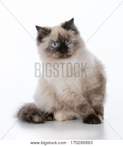 ragdoll kitten on white background