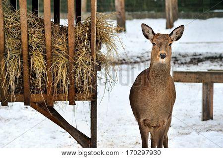 roe deer near rack in Reserve Bialowieza Forest Belarus