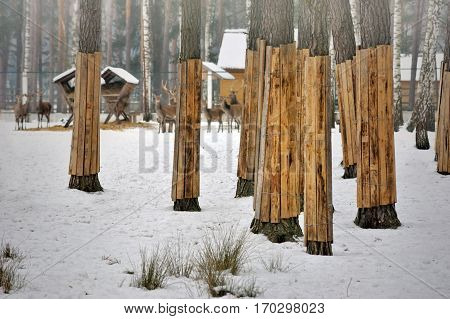 Tree trunk protection with board in Bialowieza Forest