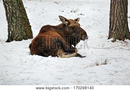 Big moose laying in the snow in Reserve Bialowieza Forest Belarus