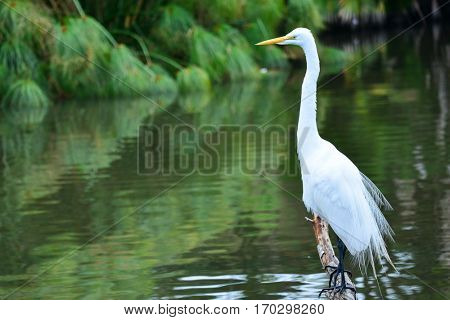 Great Egret, Heron
