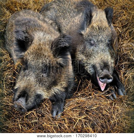 Two funny wild boars laying in the grass