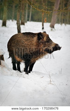 Wild boar in a snowy forest of in Reserve Bialowieza Forest