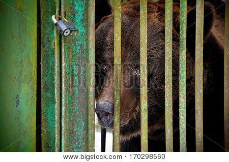 A brown sad bear in the aviary of Reserve Bialowieza Forest Belarus