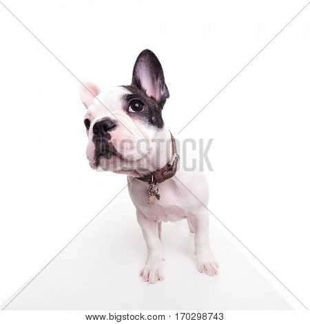 wide angle picture of a cute french bulldog looking curious and standing in studio