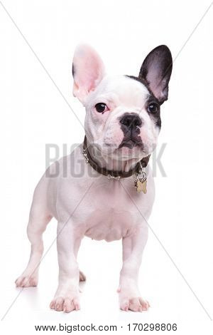 full body picture of a standing french bulldog puppy dog isolated on white background