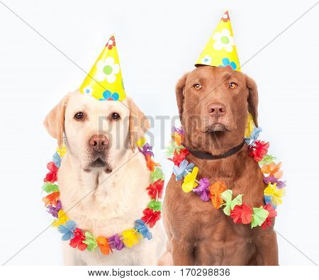 Funny crazy silly dogs wearing a yellow party hat and flowers necklaces for mardi gras carnival or just for fun party. Isolated on white background.