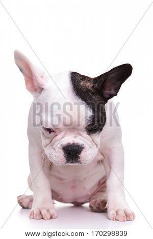 sad little female french bulldog puppy dog is sitting on white studio background