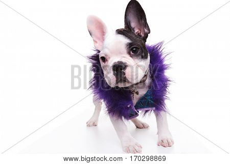 fashion french bulldog puppy dog wearing purple furry jacket is standing on white background