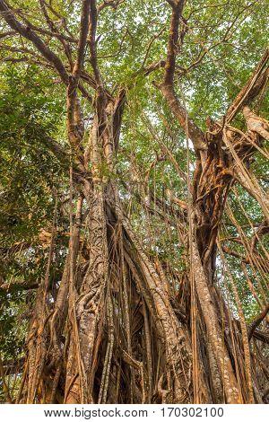 Tree of Life, Amazing Banyan Tree in morning sunlight