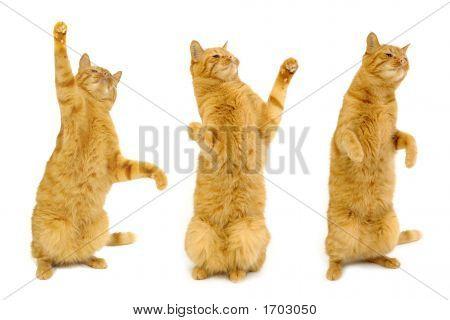 Three Dancing Cats