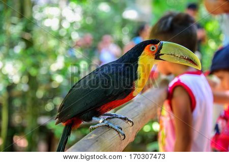 The colorful green-billed toucan sitting on the wood on the background of blurry kids in Iguacu National Park of Foz de Iguacu, the worlds largest and most impressive waterfalls, Parana State, Brazil