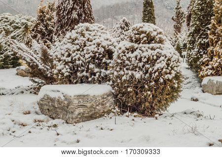 Winter landscape of beautiful evergreen trees in a public park covered in soft white snow