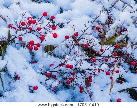 Closeup of a plant with red berries and green leaves covered with soft white snow