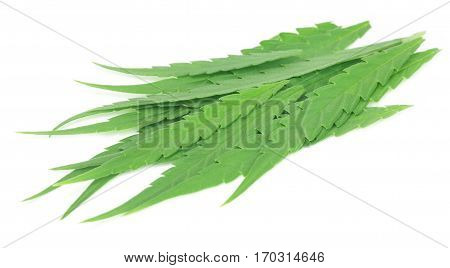 Cannabis sativa or medicinal marijuana leaves over white background