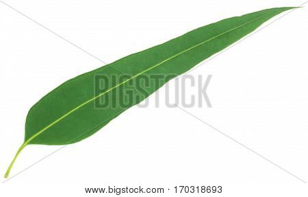 Eucalyptus leaf of medicinal value over white background