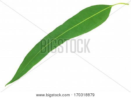 Closeup of Eucalyptus leaf over white background