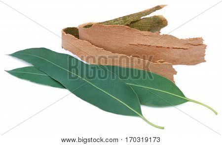 Eucalyptus leaves with barks over white background