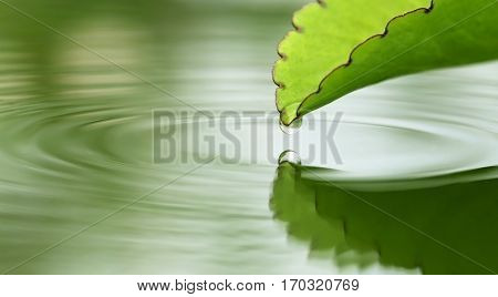 Falling droplets from herbal Kalanchoe leaves in water surface