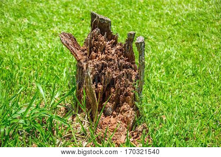 The mouldering stump serving as a residence for termites on the background of green grass at sunny summer day
