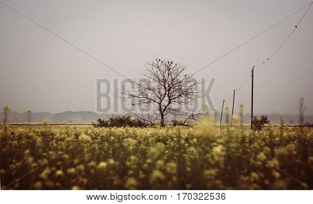 Leafless tree in mustard field located in Bangladesh