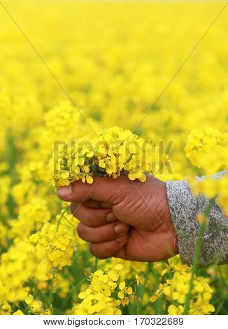 Hand holding mustard flowers outdoor in a garden