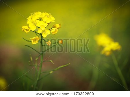 Close up of mustard yellow flowers outdoor